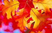 Colorful oak leaf in the autumn