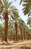 Plantation Of Date Palm At Kibbutz Ein Gedi, Israel