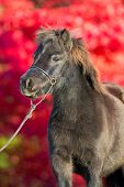 Brown shetland pony on red background