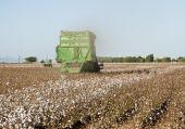 stock photo of pima  - a cotton field is being picked during the fall harvest - JPG