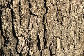 Detail Of Oak Tree Bark