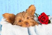 Tired Cute Little Yorkshire Terrier Resting On A Soft Blue Bed And Red Flower