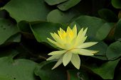 Lotus is bellflower Intended for Buddhist temples