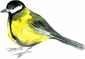 picture of robin bird  - watercolor drawing bird - JPG