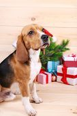 picture of christmas dog  - Beagle dog with Christmas gifts on wooden background - JPG