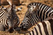 Zebra's Profile