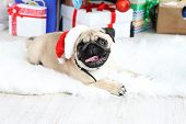 Funny, cute and playful pug dog on white carpet on light background