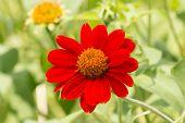 Red Flower Of Zinnia In Garden