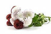 Aster Flowers On A White Background