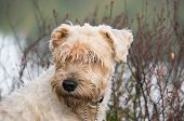 terrier in the bush