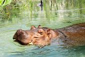 African Hippo Enjoying the Water