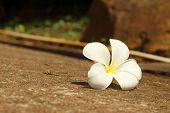 Plumeria Flower On A Background Of Rocks.