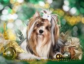 stock photo of yorkshire terrier  - biewer Yorkshire terrier and Christmas Gift - JPG