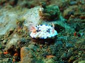 True sea slug