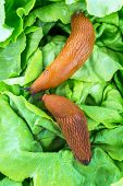 foto of mollusca  - a slug in the garden eating a lettuce leaf - JPG