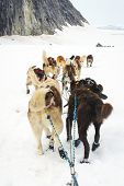 pic of sled-dog  - Sled Dogs Mushing And Running Through Snow Plains and Glaciers Between Mountains - JPG