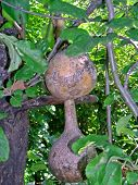 stock photo of calabash  - The calabash - JPG