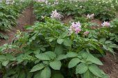 Purple Flowering Potato Plants