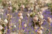 Dried Poppy Plants