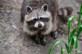 stock photo of raccoon  - Raccoon in the forest in the natural environment - JPG