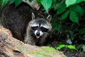 picture of raccoon  - Raccoon in the forest in the natural environment - JPG