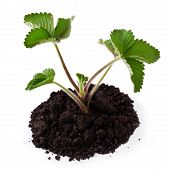 image of strawberry plant  - Young strawberry plant in soil on a white background - JPG