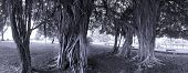 picture of epiphyte  - A group of large banyan trees with aerial roots - JPG