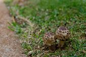 stock photo of fairy-mushroom  - Pair of brown mushrooms on grass next to walkway - JPG