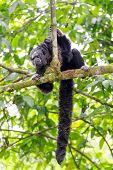 stock photo of rainforest animal  - Monk Saki monkey in a tree in the Amazon Rainforest with long bushy tail visible - JPG