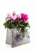 stock photo of lobelia  - Pink Cyclamen and blue Lobelia in metal decoration bag - JPG