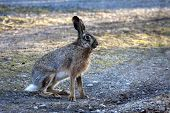 image of hare  - a european brown hare sitting down on way - JPG