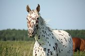 pic of breed horse  - Portrait of knabstrupper breed horse  - JPG