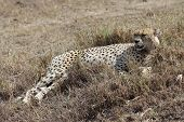 image of cheetah  - african cheetah is relaxing in the savanna during the morning - JPG