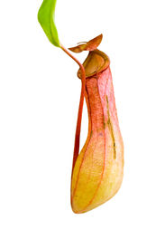 picture of nepenthes-mirabilis  - Nepenthes Alata - JPG