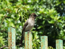 stock photo of bulbul  - Common Bulbul perched on fence in morocco - JPG