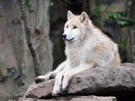 stock photo of white wolf  - Portrait of a White Wolf on stone - JPG