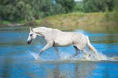 stock photo of wild horse running  - white horse is running in the blue water - JPG