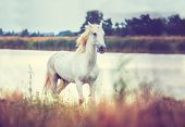 image of wild horse running  - white horse is running along the lake shore