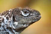 stock photo of lizard skin  - Close up of a lizard with a blurry background - JPG