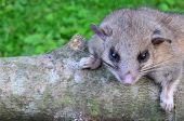 picture of ashes  - Dormouse or Glis glis or Myoxis glis in natural habitat standing on ash branch - JPG