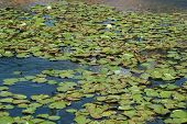 Lilypads On Pond