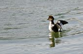 foto of common  - Female Common Goldeneye Stretching Its Wings on the Water - JPG