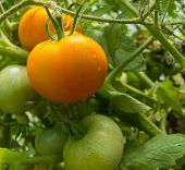 image of greenhouse  - Tomatoes on a branch grown in the greenhouse - JPG