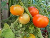 stock photo of greenhouse  - Tomatoes on a branch grown in the greenhouse - JPG