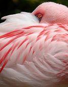 Menor ojo Flamingo