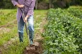 farming, gardening, agriculture and people concept - senior man with shovel digging garden bed or fa poster