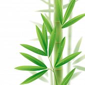 Vector image of bamboo leaves isolated on a white background