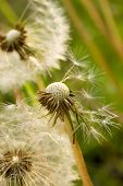 Fluffy white dandelions with brown seeds macro poster