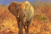 African Elephant, Loxodonta, Walking In Savannah. Game Drive Safari In Madikwe Game Reserve, South A poster