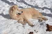 Arctic wolf at rest in snow